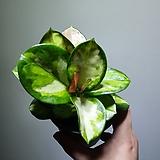 호야 오스트랄리스 리사 39 Hoya carnosa