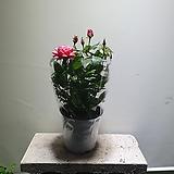 꽃장미 중품 색상랜덤발송 79 