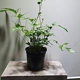 도깨비고사리 중품 공기정화식물 79 