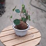 스테파니 수입식물 구근식물 299 