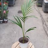 아레카야자 공기정화1위식물 45 