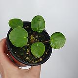 필레아페페 공기정화식물 페페로미아 초특가|