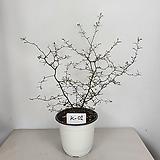 코로키아 마오리코로키아 사진상품발송 K-01 수입식물|