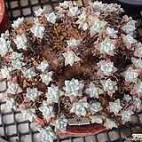 화이트그리니 목대|Dudleya White gnoma(White greenii / White sprite)