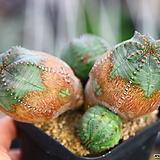 미니오베사|Euphorbia obesa (Baseball Plant)