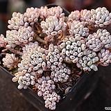 블루빈스 S6460|Graptopetalum pachyphyllum Bluebean