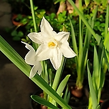 향기수선화( 하얀꽃이 피는 아이에요)  봄을 알리는 아이지요 