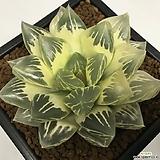 화수정(花水晶)금 호반(糊斑) 대묘  (Haworthia obtusa Hana-Suisho variegated)|
