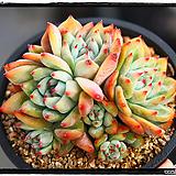 원종콜로라타 중품군생|Echeveria colorata