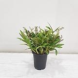 긴기아난 순백색/공기정화식물/반려식물/온누리 꽃농원|