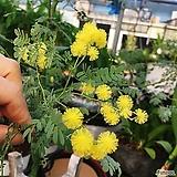 은엽 아카시아 노란자귀