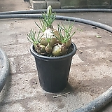 알보카 다육식물 소품 20~30cm 49|