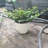 아이비 중품 공기정화식물 반려식물 25~35cm 69|Heder helix