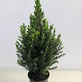 코니카가문비나무(동일품배송 )|