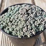 희성미인|Pachyphytum oviferum