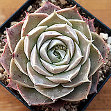 시뮬란스hyb041|Echeveria simulans Ascension