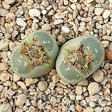 生石花-올리바시아2头(분체배송)