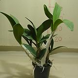 대명석곡23번-꽃대1대-향기기절초풍-사진의 동일품배송|