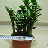 보석금전수6-후육질의 보석식물-돈이 굴러들어와요~동일품|Zamioculcas zamiifolia