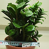 보석금전수7-후육질의 보석식물-돈이 굴러들어와요~동일품|Zamioculcas zamiifolia