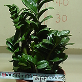 보석금전수8-후육질의 보석식물-돈이 굴러들어와요~동일품|Zamioculcas zamiifolia