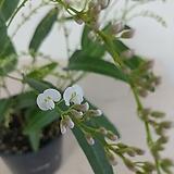 (단품)흰싸리 꽃대가득 