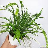더피고사리 사진상품발송 공기정화식물|