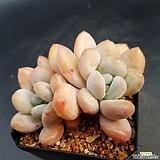 후레뉴 묵은둥이|Pachyphytum cv Frevel