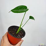 꼬마몬스테라 공기정화식물 몬스테라 몬스테라델리시오사 초특가|