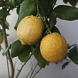 레몬나무(중)|
