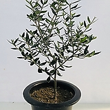 올리브나무 2|