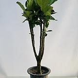 떡갈고무나무 (동일품배송 )|