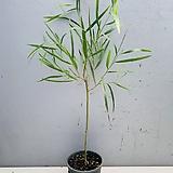 긴잎아카시아 (외목수형 동일품배송)|