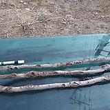 원예자재용 감태나무(연수목)3개1묶음xp-4467|