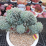 Echeveria Chrissy N ryan