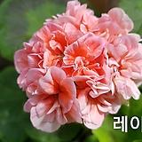 Geranium/Pelargonium