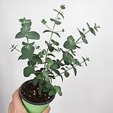 유칼립투스 공기정화식물 비염효능|