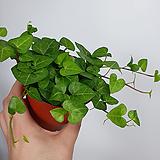 하트아이비 아이비 공기정화식물|Heder helix