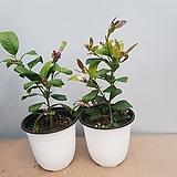 토종레몬나무|