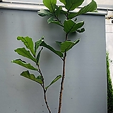 떡갈고무나무 키큰 특특대품 (동일품배송)|Ficus elastica