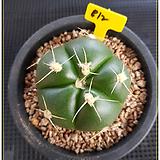 짐노속 홀스티 선인장(Gymnocalycium horstii)|