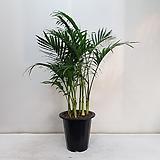 겐차야자/공기정화식물/반려식물/온누리 꽃농원|