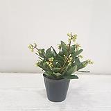은초롱/공기정화식물/반려식물/온누리 꽃농원|
