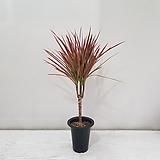 칼라데아 도티/공기정화식물/반려식물/온누리 꽃농원|