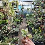 소라호야카노사 호야 소품 공중식물 40~50CM 49|Hoya carnosa