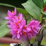 덴드로비움 히비끼(장포석곡) Dendrobium 'Hibiki'
