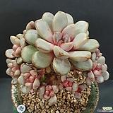 홍포도 자연군생|Graptoveria Ametum