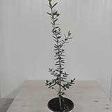 올리브나무 #2 
