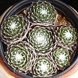 거미줄바위솔 2 Sempervivum arachnoideum tomentosum