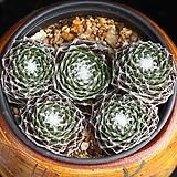 거미줄바위솔 5 Sempervivum arachnoideum tomentosum